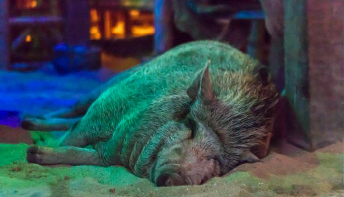 Da nette Schwein der Coral Bay Bar auf Koh Phangan