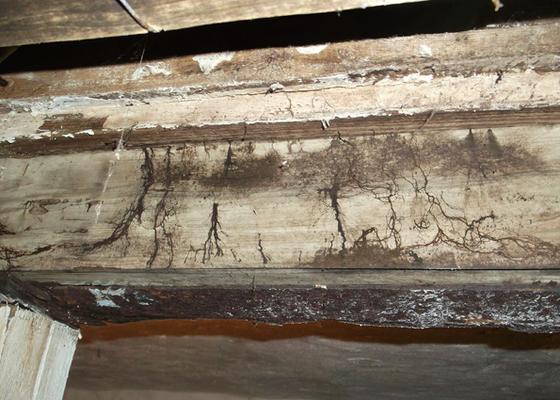 Oberflächen- und Strangmyzelien eines Kellerschwamms