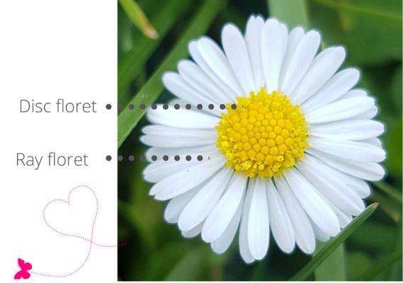 Daisy (Bellis perenis)