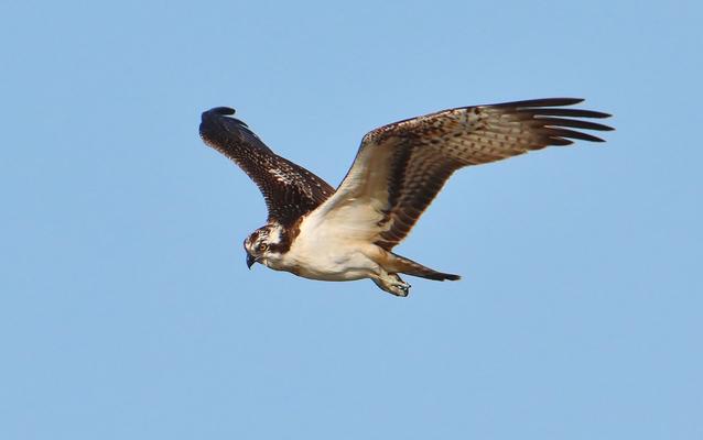 Fischadler (Foto: Edmund Abel)