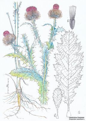 Eselsdistel - Zeichnung koloriert,  20x30 cm, 2013, A. Kästner