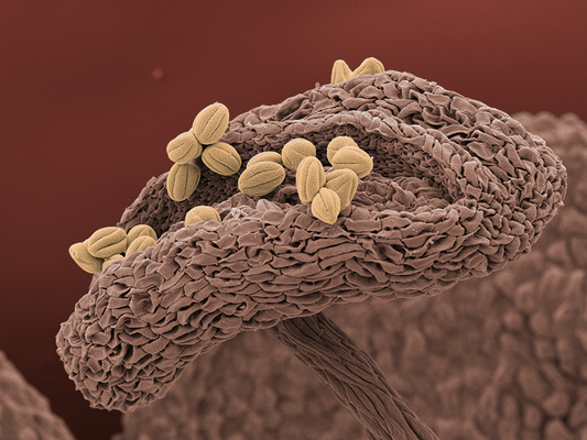 Raus aus dem Nest – Staubblatt mit Pollen, Lippenblütler, Foto: Halbritter Heidemarie, koloriert: Ulrich Silvia, 2018, 80x60 cm, Druck auf Alu
