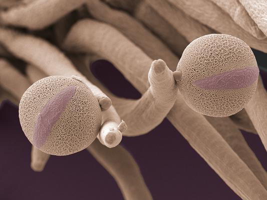 Pollen von Helmkraut  (Scutellaria, Lamiaceae) - Latexdruck auf Leinwand, 100x70 cm, 2011, REM-Aufnahme: H. Halbritter, Colorierung: S. Ulrich - VERKAUFT