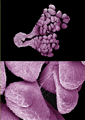 Anacaptis pyramedalis - Fotodruck, 14,5x20 cm, 2008, Aufnahme: H. Halbritter; Design: M. Kuzner - VERKAUFT