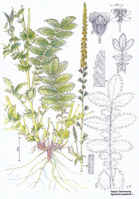Odermennig - Zeichnung koloriert, 20x30 cm,  2013, A. Kästner