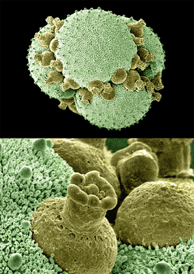 Dionaea muscipula - Fotodruck, 14,5x20 cm, 2008,  Aufnahme: H. Halbritter; Design: M. Kuzner - VERKAUFT