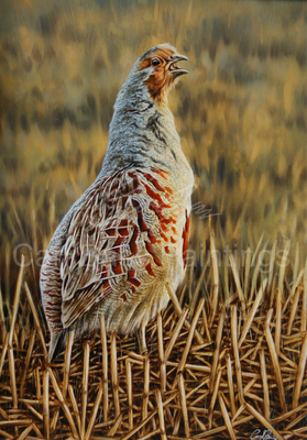 Grey Partridge Calling