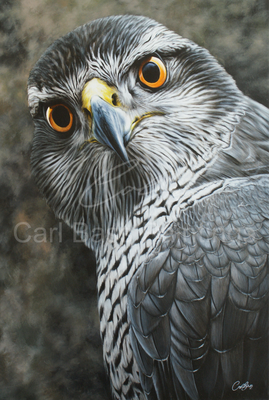 Finnish goshawk portrait