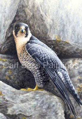 Peregrine on rocks