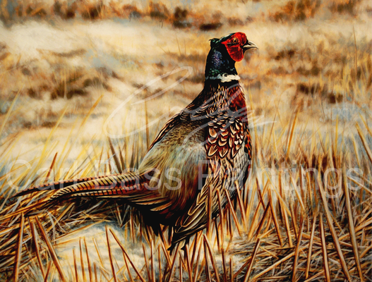 Cock pheasant In Stubbles