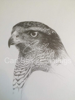 Female goshawk portrait