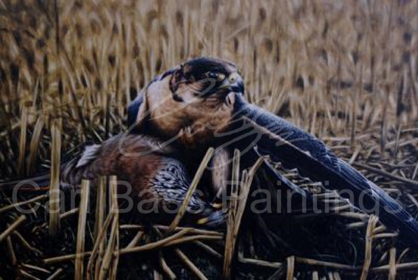 Tiercel Barbary on Red-Legged Partridge - Acrylic on Board