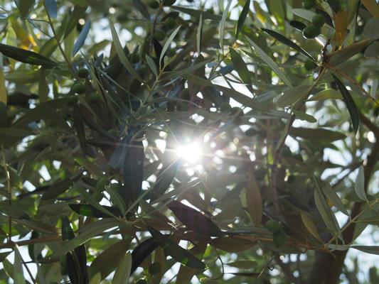 太陽とオリーブ