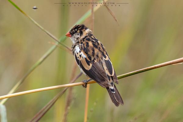 Non breeding male / Nairobi National Park