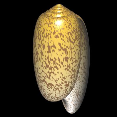 3D Oliva