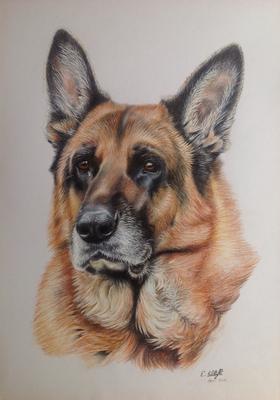 Deutscher Schäferhund, A3