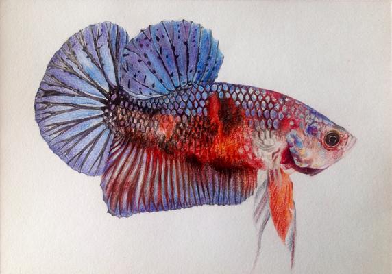 Kampffisch, A4