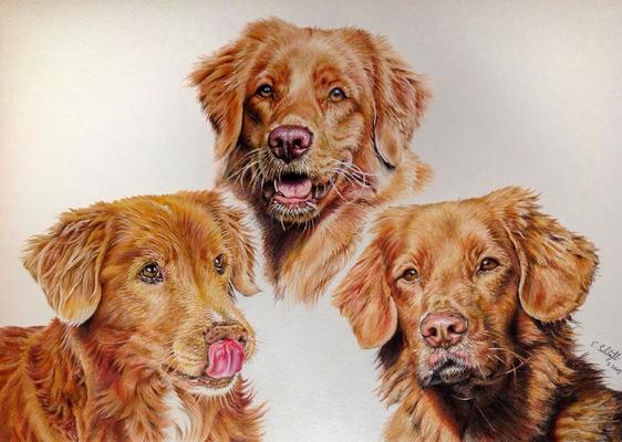 Toller Chinook, Jasper und Ojim, A3, Fotos Andrea Howald Nigg