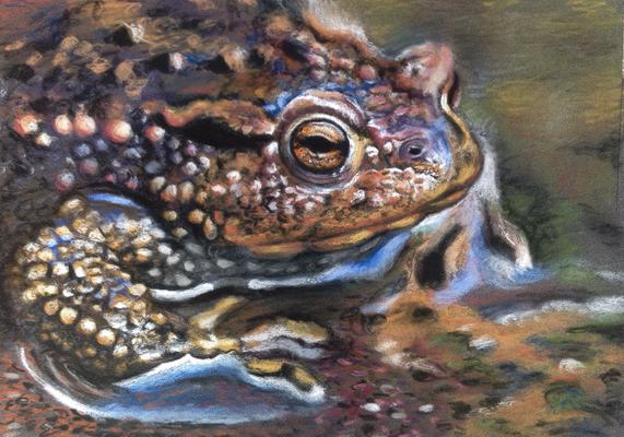 Erdkröte, Pastell, ca. 15x20cm, Foto Pixabay