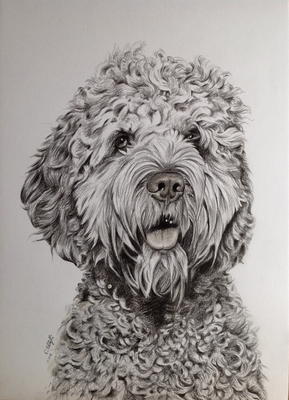 Pudel/Cocker Spaniel-Mix Mambo, A3