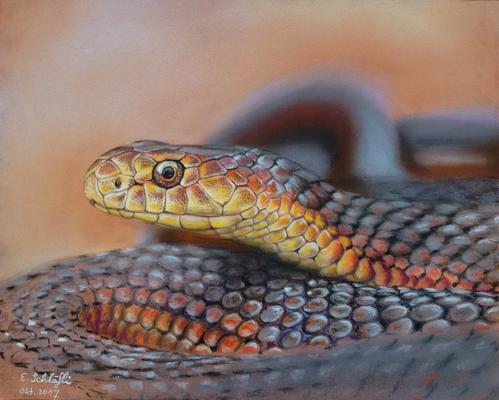 Kupferkopf, Pastell, 24x30cm, Vorlage Stephen Bullock, wildlifereferencephotos.com