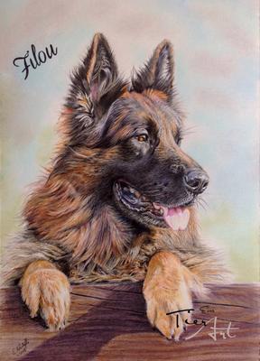 Deutscher Schäferhund Filou, A3