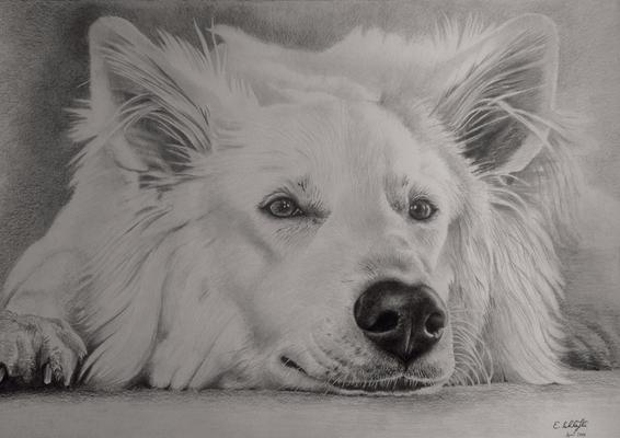 Weisser Schäferhund, A3