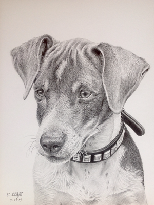 Jack Russell Terrier,  A4
