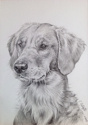 Golden Retriever Ailis, A5