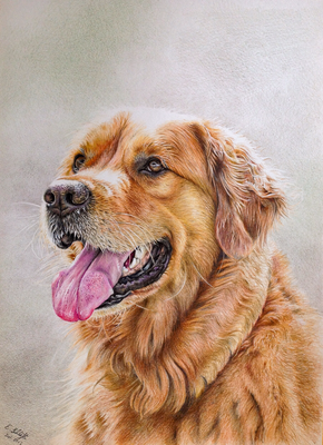 Golden Retriever Sancho, A3