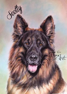 Deutscher Schäferhund Scotty, A3
