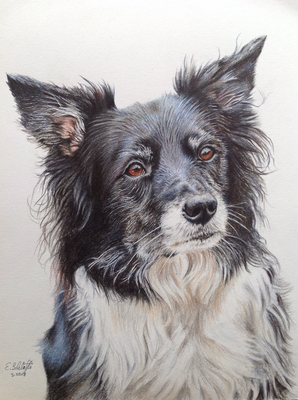 Border Collie Raja, A4