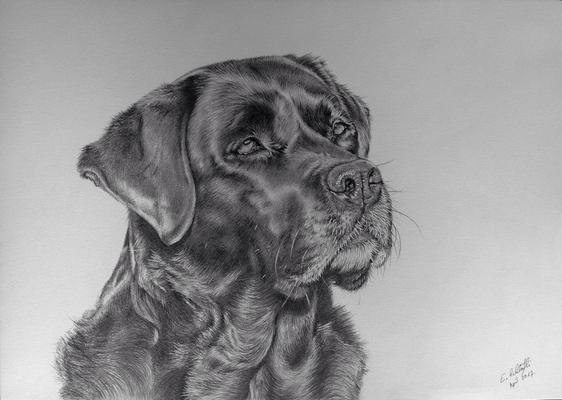 Labrador Bagheera, A3,  Vorlagenfoto Trudy Mendelin