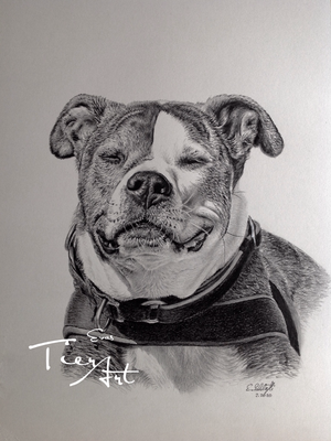 American Staffordshire Terrier Lil, A3