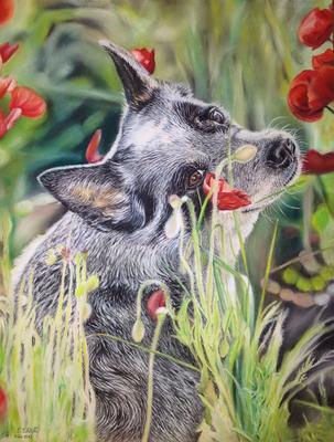 Australian Cattledog Youpi im Mohn, 30x42cm, Vorlagenfoto Jacky Steiner