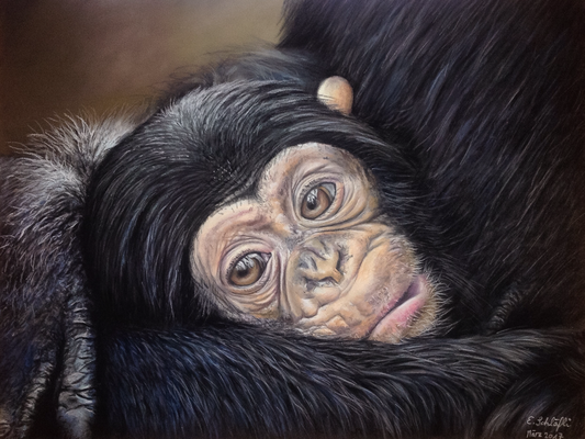 Behütete Kindheit (Schimpanse), Pastell, 30x40cm, Foto Edwin Butter, wildlifereferencephotos.com