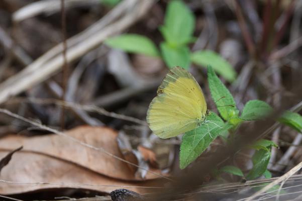 Macleay's Grass Yellow (Eurema herla)