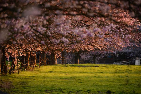 Allee mit Kirschbäumen in Sprockhövel