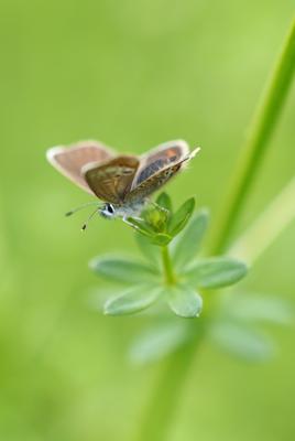 Hauhechel-Bläuling, Weibchen