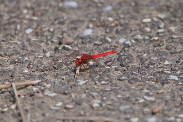 Scarlet Percher Dragonfly, Diplacodes haematodes