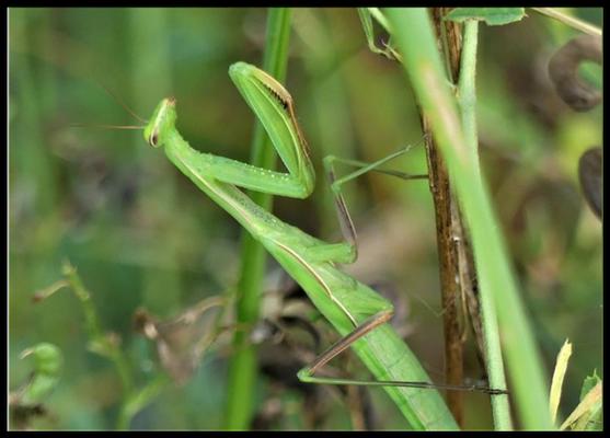 Mantis Weibchen Foto: Entenmann
