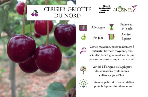 Cerisier griotte du nord