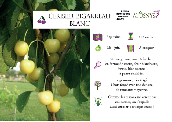 Cerisier bigarreau blanc