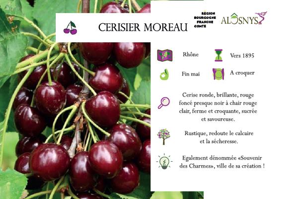 Cerisier Moreau
