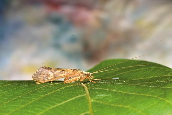 Hydropsyche pellucidula