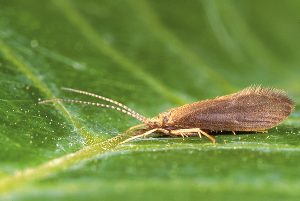 Psychomyia pusilla