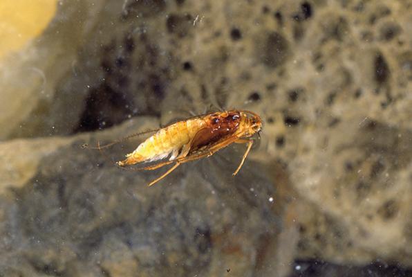 Sedge Pupa (Hydropsyche sp.)