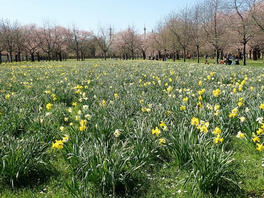Die Narzissen kündigen mit Macht den Frühling an