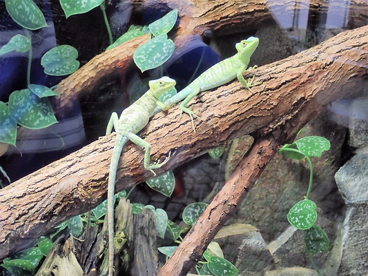 fotogene Geckos