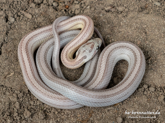 Ghost Striped (Female)